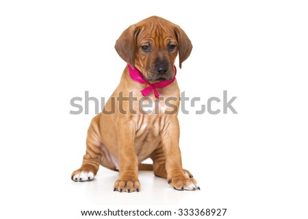 Rhodesian Ridgeback dog puppy  isolated on white background