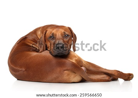 Rhodesian Ridgeback dog resting in front of white background - stock photo