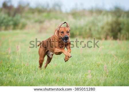 Rhodesian ridgeback dog running on the field in summer - stock photo