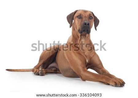 Rhodesian Ridgeback dog sits proudly on the floor and looks aside