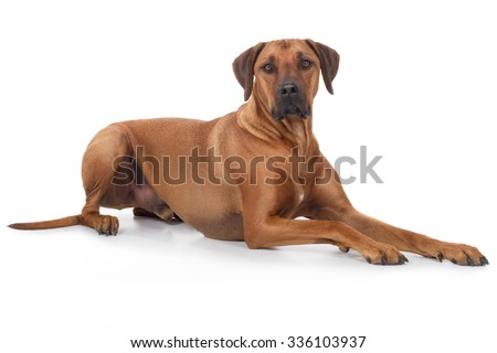 Rhodesian Ridgeback dog sits proudly on the floor and looks into the camera