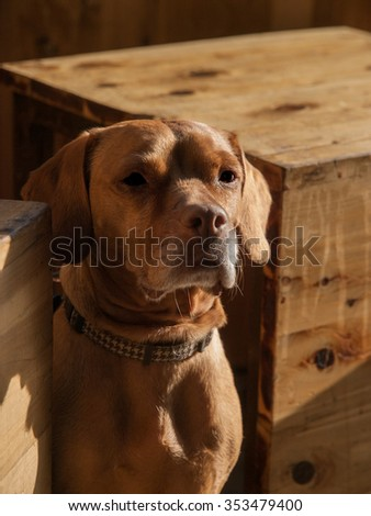 Rhodesian Ridgeback dog sitting between two wood crates.