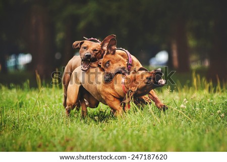 Rhodesian Ridgeback dogs playing together in summer - stock photo