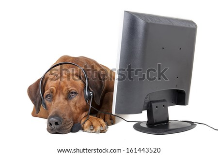Rhodesian Ridgeback headset in front of a monitor - stock photo