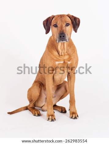 Rhodesian Ridgeback hound dog isolated on white background. The beautiful male is sitting and looking straight into the camera.