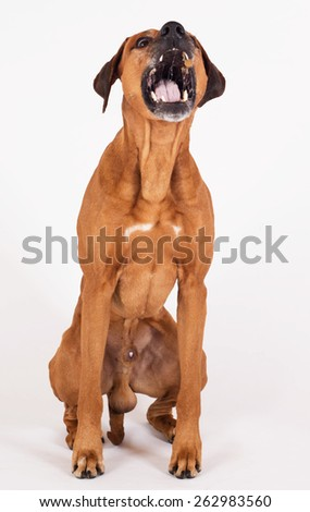 Rhodesian Ridgeback hound dog isolated on white background. The beautiful male is sitting and catching a flying treat. - stock photo