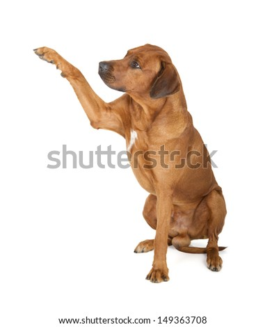 Rhodesian Ridgeback isolated on white background - stock photo