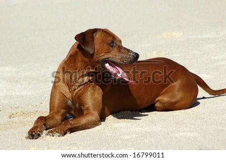 Rhodesian Ridgeback laying in sand - stock photo