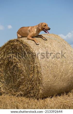 Rhodesian Ridgeback lying on straw bale - stock photo