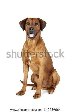 Rhodesian Ridgeback on a white background in studio - stock photo