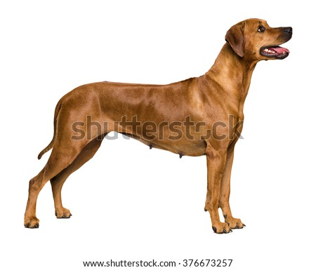Rhodesian Ridgeback on white background