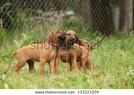 Rhodesian ridgeback puppies playing with each other - stock photo