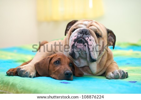 Rhodesian ridgeback puppy and english bulldog best dog friends relaxing on a bed - stock photo