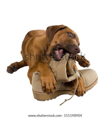 Rhodesian ridgeback puppy chewing on his master's army boots - stock photo