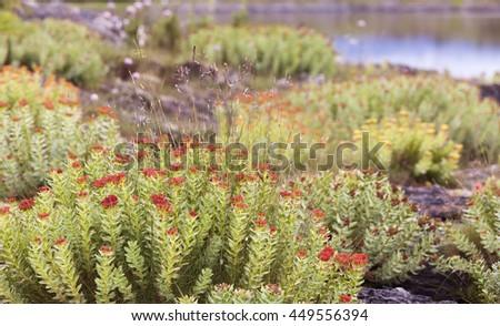 Rhodiola rosea (roseroot, golden root) flowering at cliff at seaside in Helgeland, Norway.  - stock photo