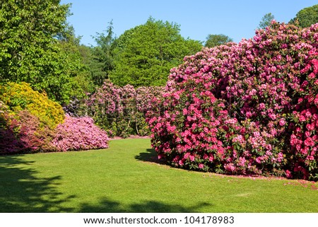 Rhododendron and Azalea Bushes in Beautiful Summer Garden in the Sunshine