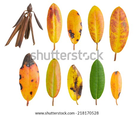 Rhododendron autumn leaf colors collection isolated on white background - stock photo