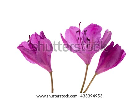 Rhododendron Blossoms, back-light, white background