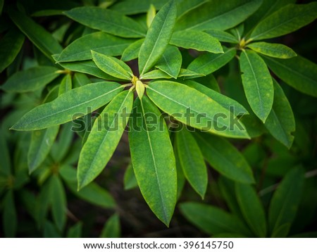 Rhododendron bud and green leaves in spring - stock photo