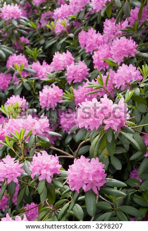 Rhododendron bush with purple flowers all over. - stock photo