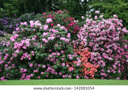 Rhododendron Bushes - stock photo
