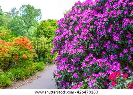 Rhododendron bushes in botanical garden, Riga, Latvia - stock photo
