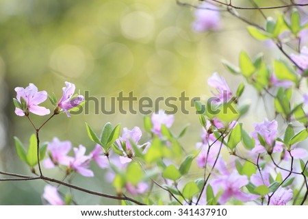 Rhododendron dilatatum - stock photo
