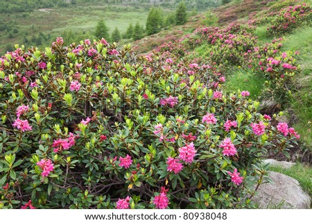 Rhododendron during spring