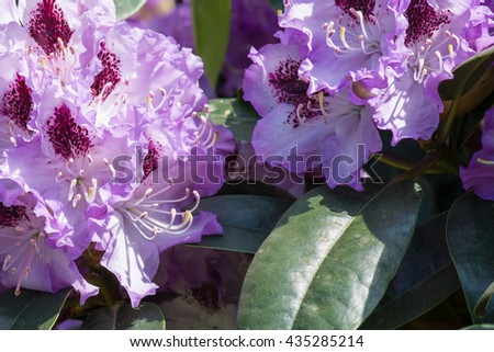 Rhododendron flower  - stock photo