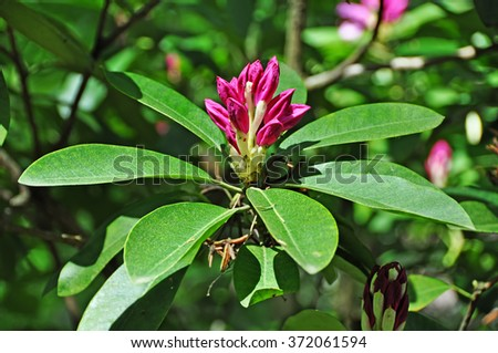 rhododendron flower buds - stock photo