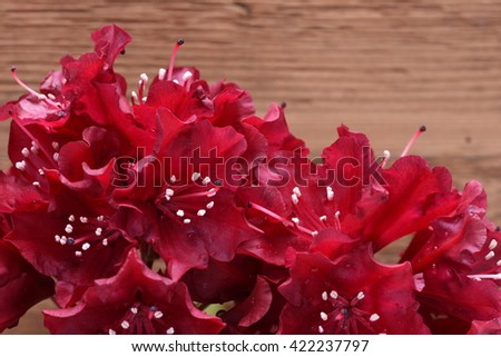 Rhododendron flower on wooden background