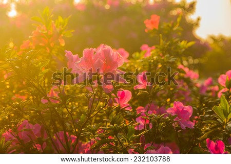 Rhododendron flowers blooming in the garden during a bright day in spring - stock photo