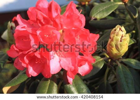 Rhododendron flowers blooming in the spring