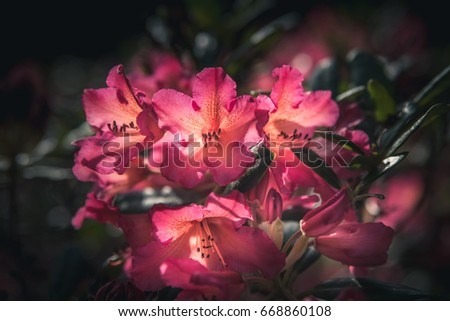 Rhododendron flowers in a Japanese garden.