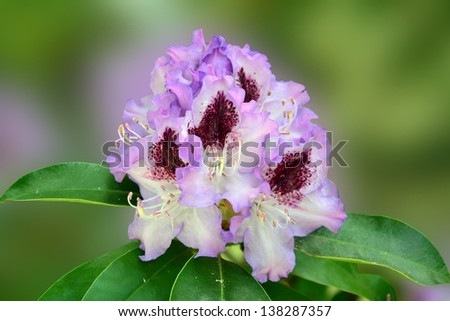 Rhododendron flowers with light lavender-blue, frilled petals and a prominent purple flare.