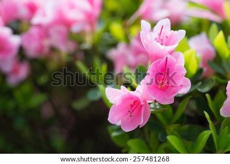 Rhododendron in bloom - stock photo