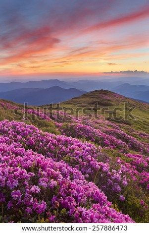 rhododendron in mountains on a background sunset