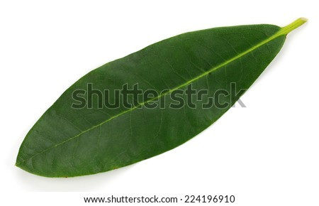 Rhododendron Leaf isolated - stock photo