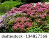 Rhododendron or Azalea abloom park in Warsaw, bunches of colored flowers, ornamental deciduous shrub blooming in spring in Poland. - stock photo
