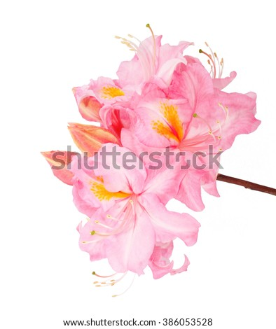 Rhododendron red flower on white background - stock photo