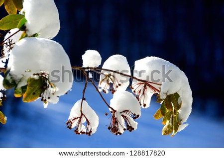 Rhododendron seeds and leaves in the snow with blue background - stock photo