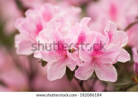 Rhododendron simsii - stock photo