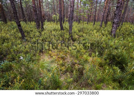 Rhododendron tomentosum and trees in the forest in Polesie National Park, Poland. - stock photo