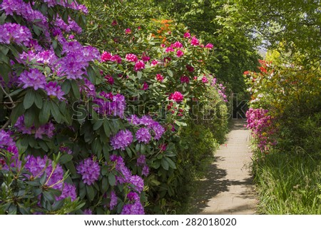 rhododendrons in various colors, full bloom - stock photo