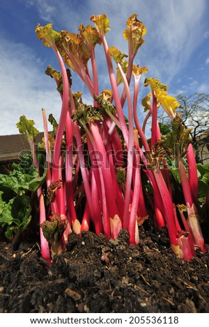 Rhubarb in the garden, that has been 'forced', i.e. grown in the darkness under a bucket to make it grow long.  - stock photo