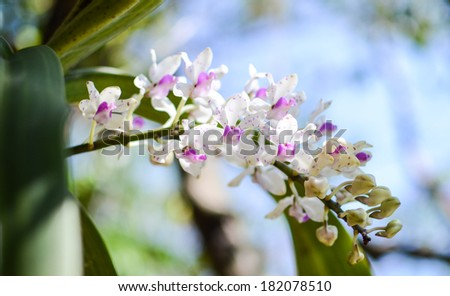 Rhynchostylis gigantea is a species of orchid (foxtail orchids) it described in 1896 by John Lindley and occurs in Myanmar, Thailand, Malaysia, Laos, Cambodia, Vietnam, Hainan China - stock photo