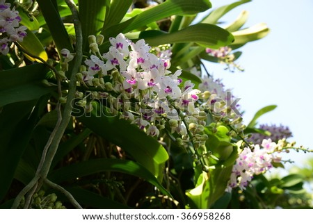 Rhynchostylis gigantea orchids blooming in the garden. - stock photo