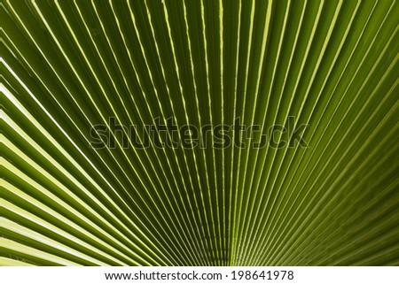 Ribbed leaf  of Washingtonia palm  - stock photo