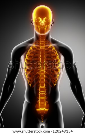 Ribs, spine and skull anterior view - stock photo