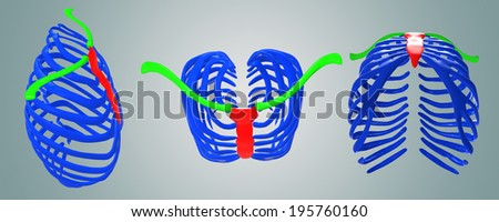 Ribs with Clavicle - stock photo